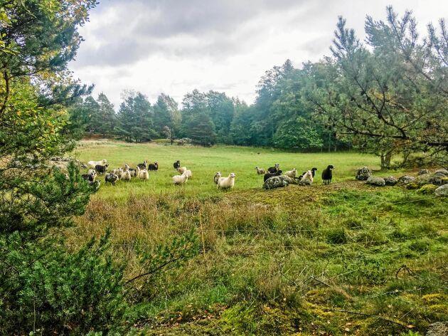 30 hektar ängs- och åkermark behöver hållas öppet med hjälp av betande djur.