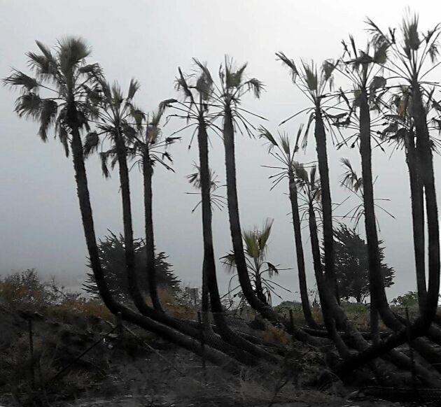 De svartbrända palmerna vid Stilla Havets strand var en makaber syn.
