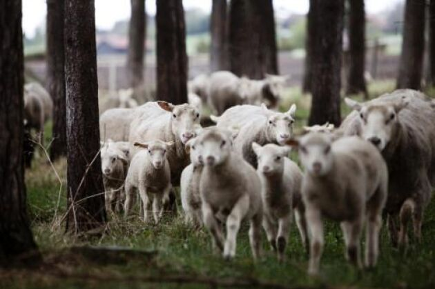 Jämtlandsfår godkändes som ny ras 2010.