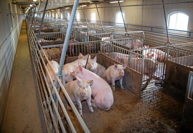 Arkivbild. Ett 30-tal grannar klagade på stank från grisarna och överklagade Holmbergs gårds utbyggnad.