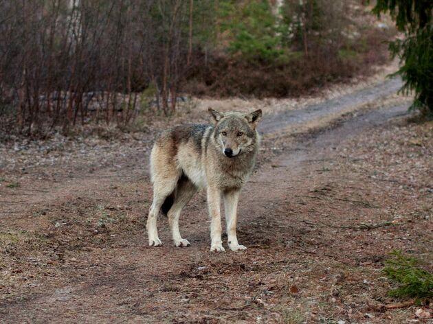 Sverige är inte platsen för frilevande varg, anser debattören.