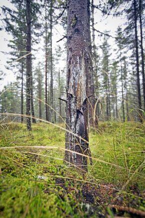 Trakten har efter gallringen 1600 stammar per hektar. I genomsnitt är 288 stammar skadade.