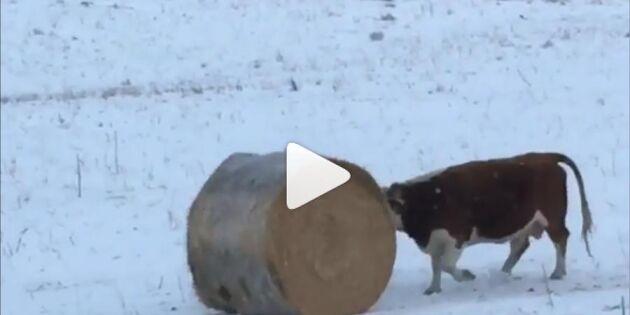 Se upp i backen! Här kommer en ko med bollsinne!