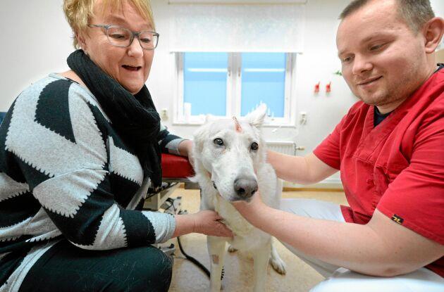 11-åriga, vita herdehunden Peggy Sue har fått en golfbollsstor tumör bortopererad från huvudet. Matte Kristina Henriksson från Kalix tycker det känns skönt att det har gått bra.