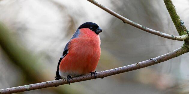 Se upp! Därför reagerar djur på röd färg