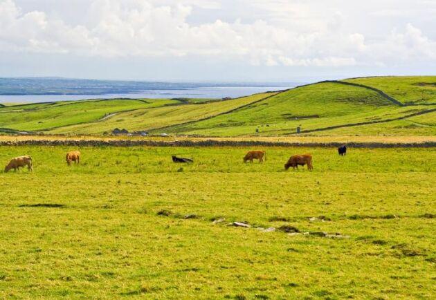 Ensilaget är på väg att ta slut för många irländska bönder medan den kalla vintern stoppat upp tillväxten av gräs på betena.