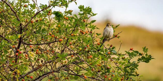 Locka fåglar till trädgården – 9 favoritbär