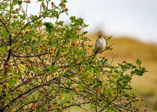 Naturens skafferi: 9 bär som småfåglarna älskar