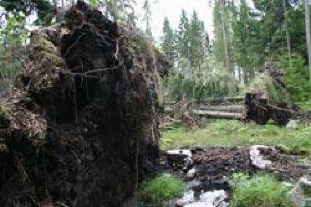 Skog fälld av stormen Gudrun. Bilden är tagen i Småland i augusti 2005. Foto: Mats Karlsson