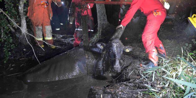 Åska skrämde ner dräktig ko i kärr