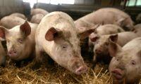 Ras för amerikanskt grispris