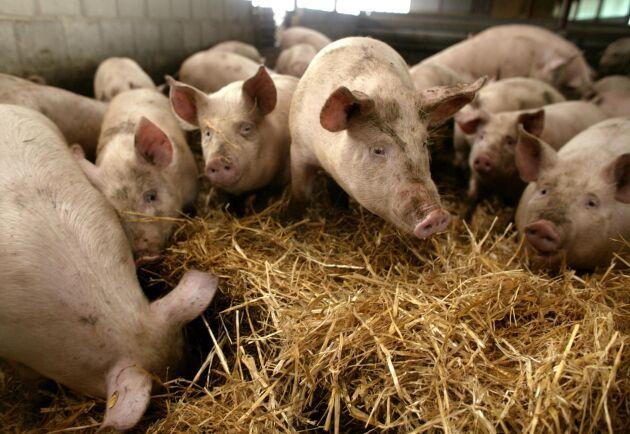 Hela den amerikanska köttindustrin har påverkats av Trumps handelskrig med Kina, skriver danske ekonomen Jens Scherling.