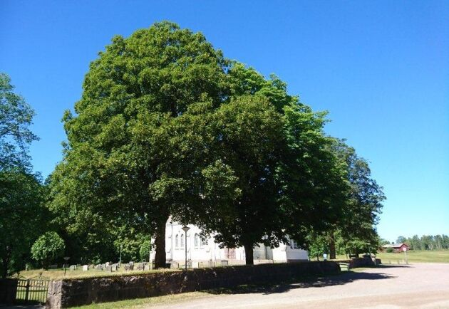 Tysklönn har planterats i svenska parker, vid kyrkogårdar, som här i dalsländska Edsleskog, och i trädgårdar sedan arten förts in i Sverige på 1700-talet.