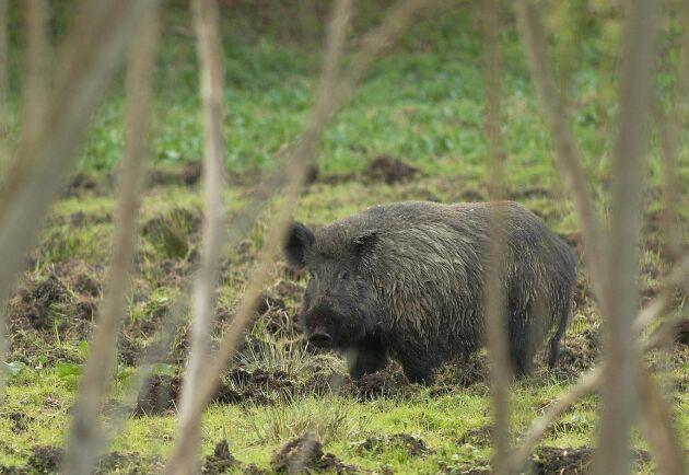 Under förra säsongen var avskjutningen av vildsvin högst i Skåne.