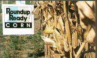 Gmo-odlingen ökade förra året