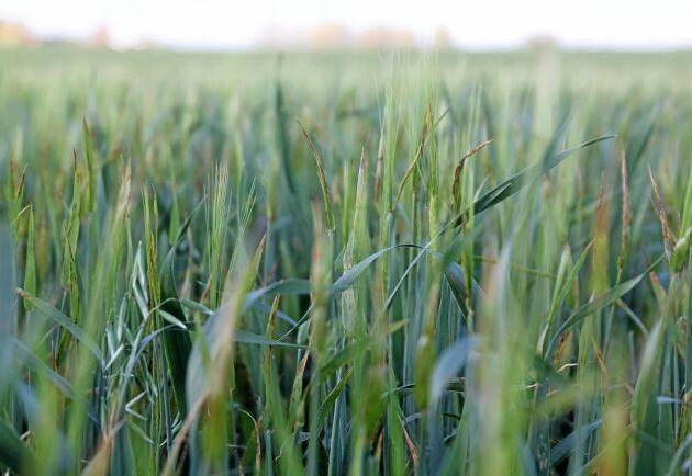 Efter spannmålsskörden i slutet på juli såddes en blandning av korn och havre för att skörda senare under hösten i Kågeröd, nordvästra Skåne. Efter den gynnsamma hösten har både havre och korn gått i ax den 18 oktober när ATL var på besök.