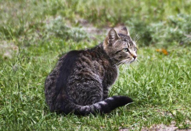 80 kronor per katt kan det komma att kosta i registreringsavgift om utredarens förslag om obligatorisk kattmärkning går igenom.
