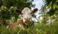 Kommun vill öka inköp av svenskt kött