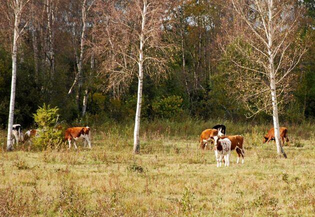 Djurägaren har fått tag i häften av korna. (Korna på bilden är inte de djur som artikeln handlar om)