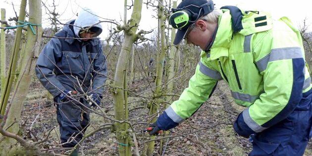 ATL TV: Ingen vintervila i äppelodlingen