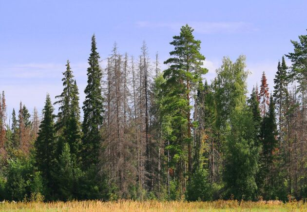 I ett nytt projekt ska forskarna ta vara på möjligheten att samla in data om hur trädens motståndskraft har påverkats av fjolårets torka.