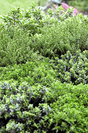 Hebe, Hebe-hybrid, är en grupp städsegröna buskar som i regel står sig fint tills temperaturen kryper under noll. Foto: Blomsterfrämjandet