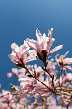 KÄNSLIG. Magnolia är känslig för beskärning, men 'Leonard Messel' är åtminstone den mest härdiga. Foto: IBL