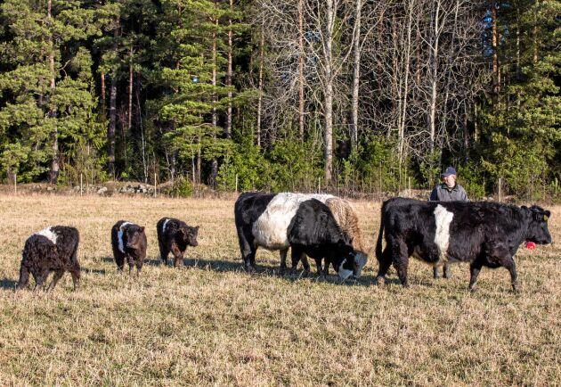 Enligt Svenska Gallowayföreningen ökar intresset för belted galloway och belted gallowaykorsningar konstant i Sverige, dels för att de är lättskötta och mycket bra på att hålla betesmarker i trim, dels för att de ger premiumkött.