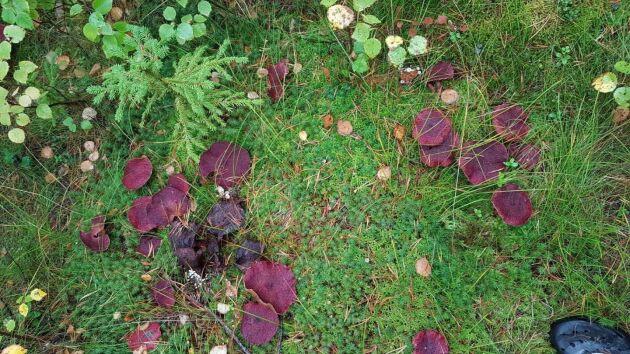 Om man inte tittar så noga kan svamparna misstas för röda höstlöv som fallit till marken.
