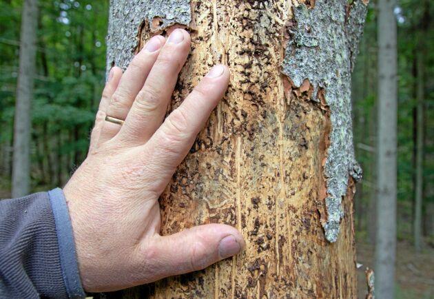 Till skillnad från stormskador fortsätter angreppen av barkborre under lång tid och har redan börjat påverka fastighetsmarknaden, enligt Danske Bank.