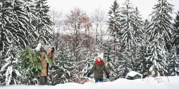 Så väljer du en miljösnäll julgran – och den här ska du undvika!