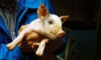 Tre av fyra grisföretag väntas lägga ned