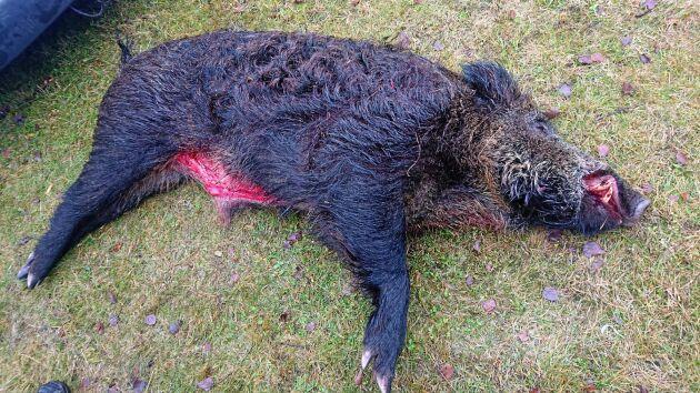 Ett 110 kilo tungt vildsvin fälldes i Fågelforsskogarna i lördags.