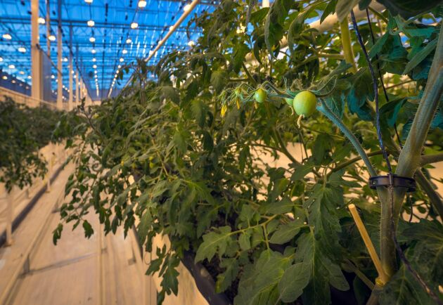 Peckas Naturodlingar odlar bland annat tomater. Arkivbild.