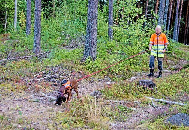 Träning, träning och åter träning. Här spårar Edda och Sandra Eriksson en liten pälsbit från björn. Allt eftersom rovdjuren sprider sig över landet krävs det hundar som kan spåra dem vid trafikolyckor.