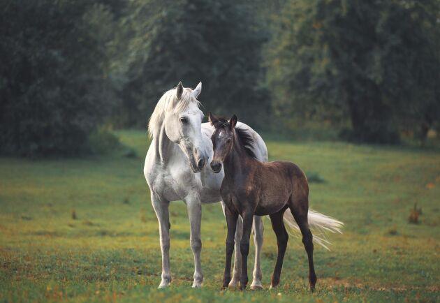 Tusentals doser färsk sperma skickas varje säsong i Sverige.