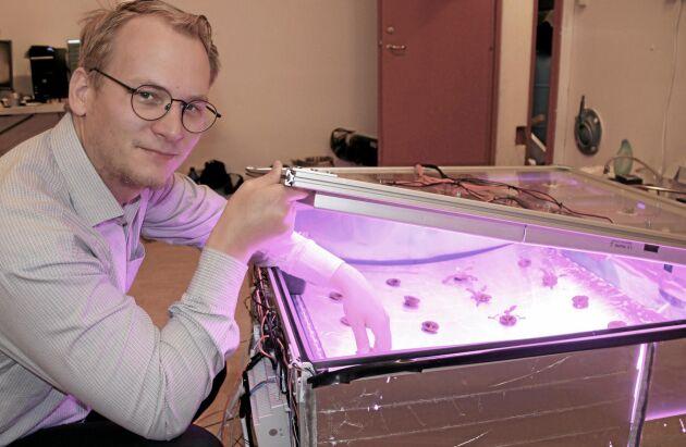 Lennart Sör har blivit van vid det svagt rosa artificiella ljuset vid Optima Plantas testanläggning. Här i modulen odlas spenat.