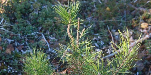 Fördubbling av rådjursbetad tallplant