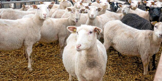 Ny satsning ska lyfta svensk ull