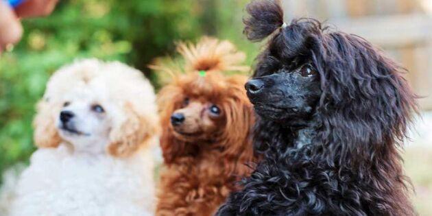 4 hundar som ofta funkar för allergiker