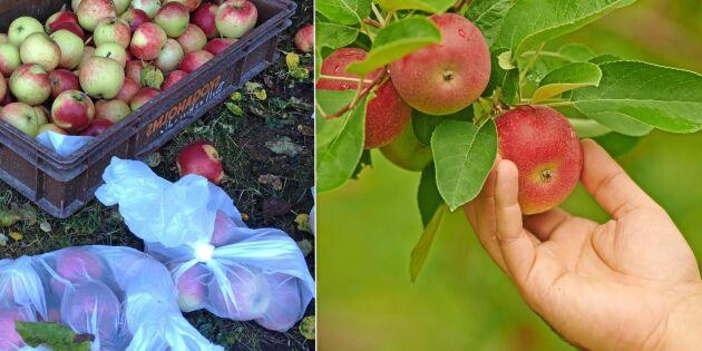 Smarta knepet för att lagra dina äpplen