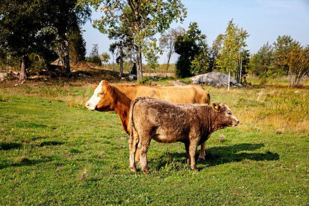 Kossan Borta med sin kalv Älva. De liksom resten av flocken är en blandning av mjölkko- och köttraser.
