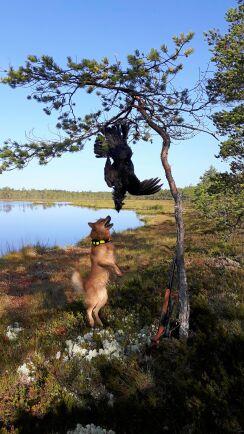 Finnspetsen Zorro är en skällande fågelhund. Här skäller han lite extra efter lyckad tjäderjakt.