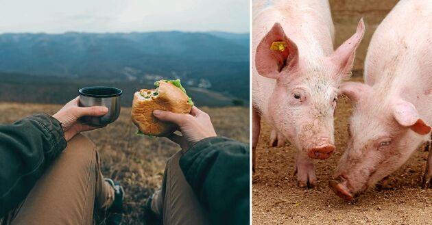 Undvik att slänga skinka och charkprodukter från smittade länder i naturen, eftersom de kan innehålla svinpestviruset.