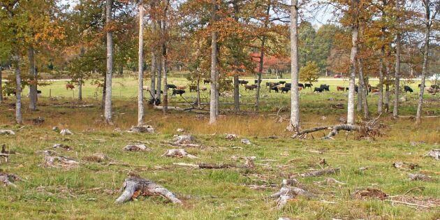 Skog söks till utökade betesmarker