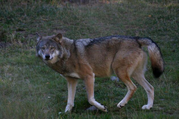 En eller flera vargar slog till mot en fårgård i Dala-Floda natten till fredagen.