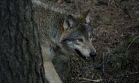 Sköt varg – åtalas för grovt jaktbrott