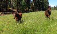 Hästar söks till mjältbrandsstudie