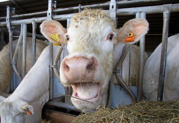 Totalt har 60 av gårdens 175 kor utrustats med öronsensorer.