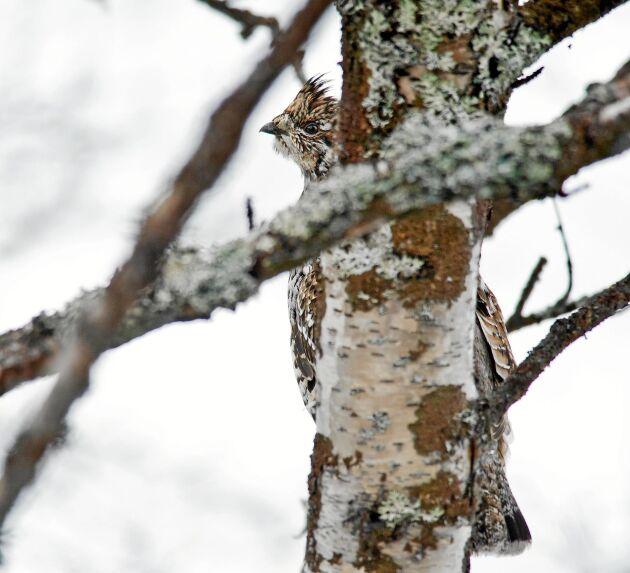 JÄRPE. Järpen är nyfiken och kan komma ganska nära, men är ändå inte lätt att upptäcka eftersom den gärna döljer sig bakom en trädstam.